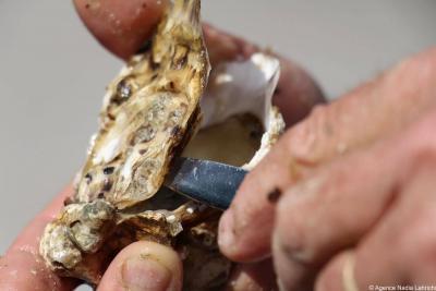 Découvrir les huîtres Gautret